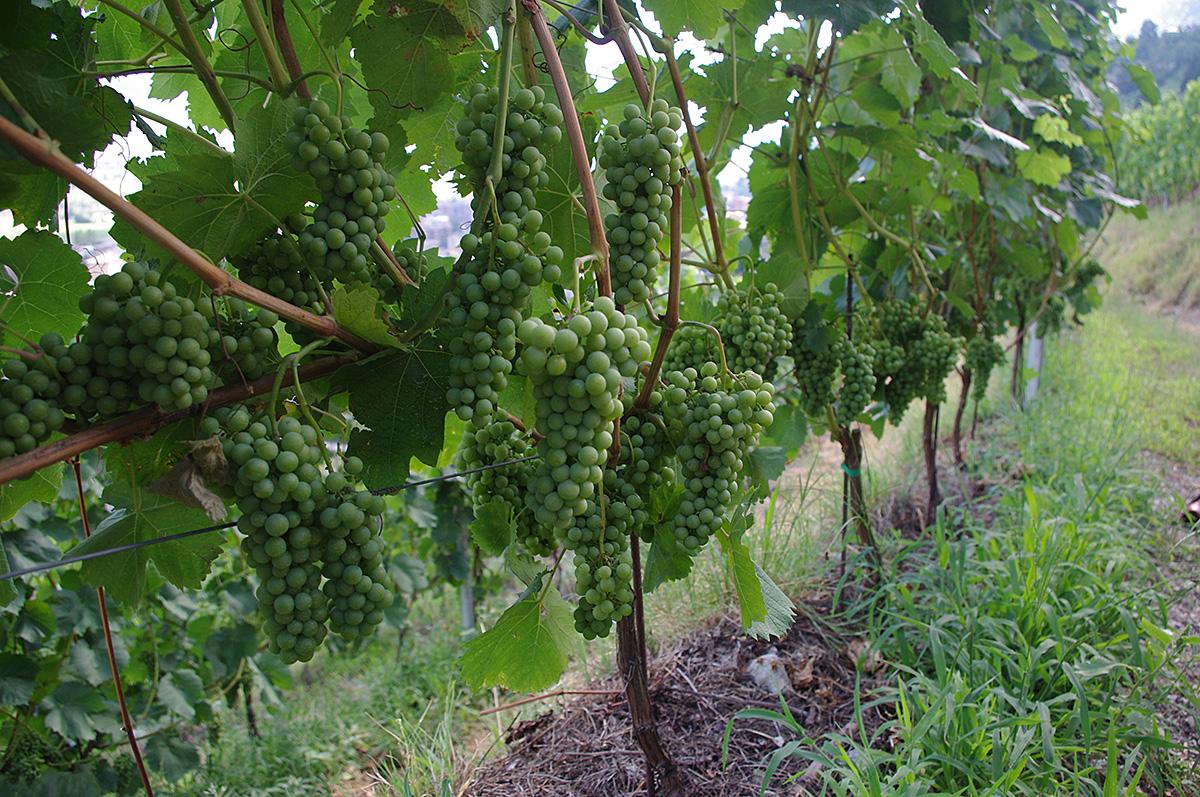現在は、伝統、革新をそれぞれ取り入れて、全部で8種類のブドウ品種を作っています。