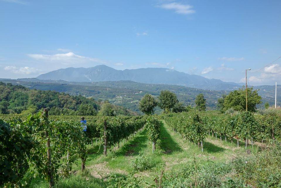 カンティーネ・ディ・マルツォの畑。界隈でも最古参の生産者であるため、樹齢は平均30年以上。