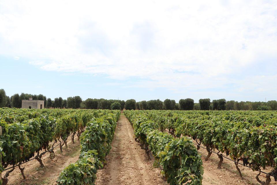 白い粘土質のネグロアマーロの畑